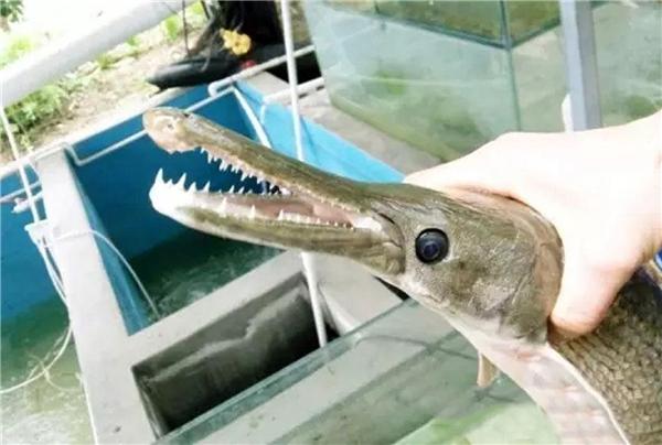 """Chú cá khiến mọi người bối rối vì trônggiống như """"con lai"""" giữa cá và cá sấu. Ảnh: CEN"""