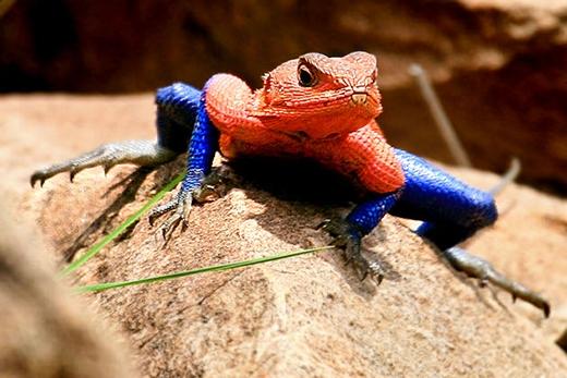 Thằn lằn Agamathường sống theo bầy đàn, con đực giữ vị trí thống soái trong đàn. (Ảnh: Internet)