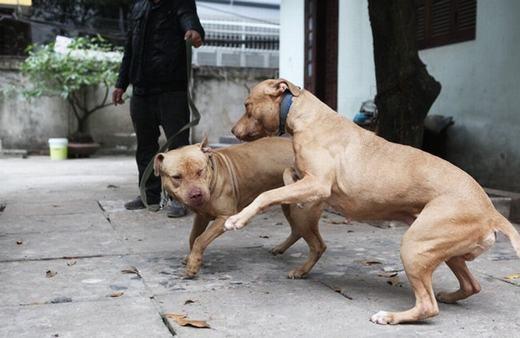 Anh Tuấn Anh nuôi 2 con chó Pitbull tại nhà và không bao giờ dắt chó đi ra đường.