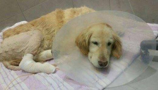 Để cứu sống Kiki, toàn bộ 4 chân bị bắt bỏ. (Ảnh: Internet)