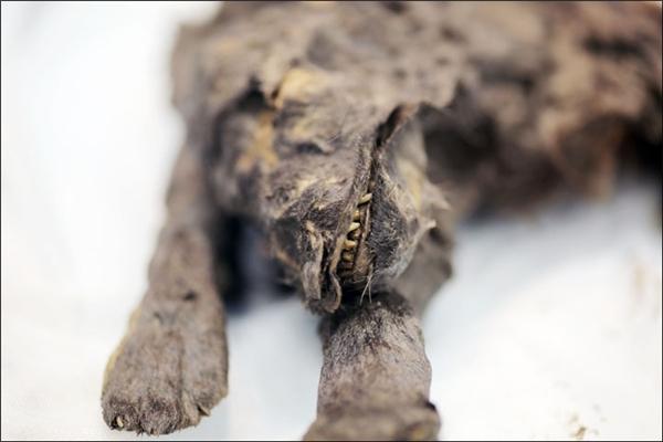 """""""Chúng tôi đã lấy mẫu đất bao quanh cái xác để xác định các kí sinh trùng và vi khuẩn cổ đại"""". (Ảnh: Ivan Tishchenko)"""