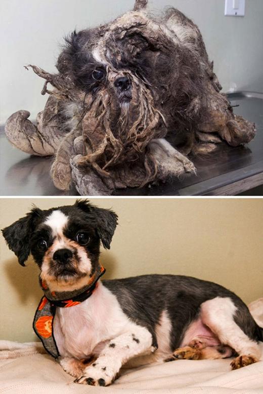 Tuy nhiên chỉ cần được tắm rửa và cắt lông thì Rusty nhà ta lại trở nên sáng sủa, đáng yêu ngay tức thì. (Ảnh: dailymail)