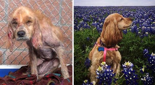 Kenzie giờ đây là tấm gương điển hình cho thấy tình yêu thương và sự quan tâm chăm sóc có thể thay đổi một chú chó bị bạo hành. (Ảnh: onepicturesaves)