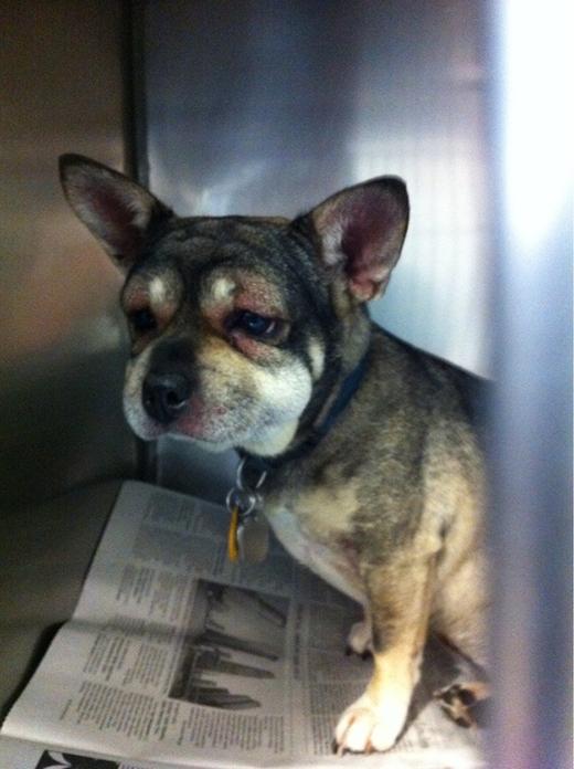Sau tai nạn, mặt mày em cún này già sọp đi trông thấy, lại còn ưu phiền đến độ đọc ngược cả báo nữa chứ. (Ảnh: Internet)