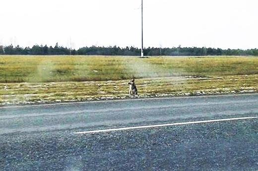 Chú chó chờ đợi chủ bên đường hơn một năm sau khi người chủ mất vì tai nạn. (Ảnh: Internet)