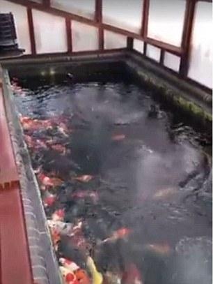 Hồ cá Koi nơi hai bé đã bị ngã vào dẫn đến bi kịch. Ảnh: Daily Mail