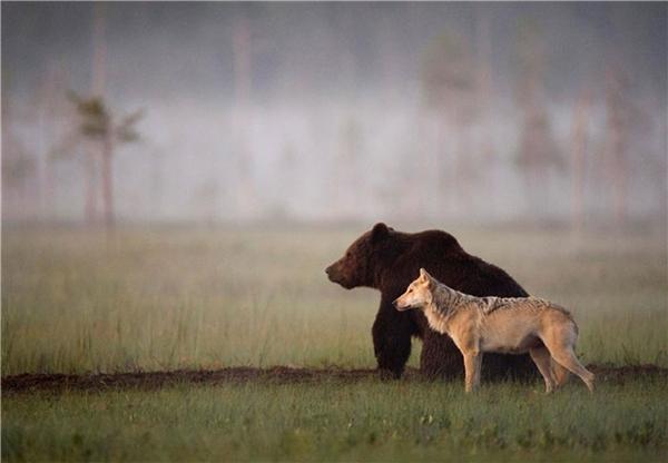 Đôi bạn gấu - sói khiến cộng đồng mạng tan chảy vì độ đáng yêu. (Ảnh: Laussi Rautiainen)