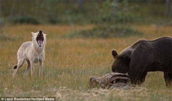 """""""Mẹ ơi, thằng gấu ăn hết không chừa cho con phần nào hết!"""". (Ảnh: Laussi Rautiainen)"""