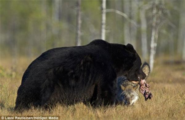 """""""Sao, còn giận à? Giận thì anh đây ăn hết nhé!"""". (Ảnh: Laussi Rautiainen)"""