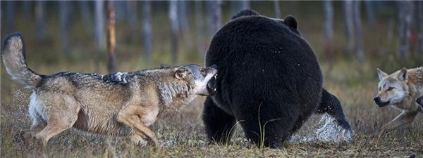 """""""Mông to nhìn thích quá, cho 'xực' một phát mài răng nhé!"""".(Ảnh: Laussi Rautiainen)"""