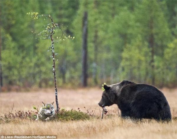 """""""Anh mày giỡn đấy, lúc nãy mấy thằng sói kia giành dữ quá nên chỉ kịp giật lại cho cô emchút xíu này thôi"""". (Ảnh: Laussi Rautiainen)"""