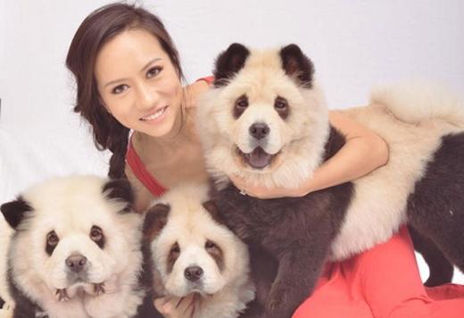 Ba chú chó Chow Chow nổi tiếng sau chiến dịch quảng cáo của cô Jiang. (Ảnh: Internet)
