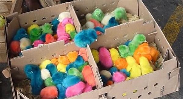 Những chú gà con có màu lông cực dị: xanh, đỏ, tím, vàng, da cam… (Ảnh: Internet)