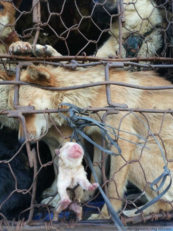 Xót xa số phận nghiệt ngã những chú chó bị đem ra lò mổ