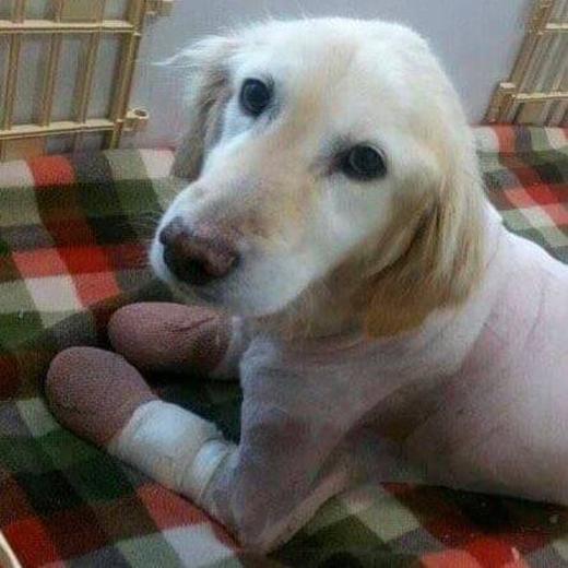 May mắn là Kiki đã được phát hiện kịp thời và được cứu sống. Giờ đây nó đã hồi phục và đang chờ đủ khỏe mạnh để được đưa sang Mỹ sống cùng chủ mới. (Ảnh: Internet)