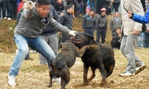 Phẫn nộ trước thú chơi chọi chó Pitbull vô cùng dã man