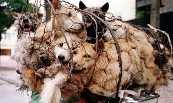 Những chú chó trên đường tới lò mổ. (Ảnh: Internet)