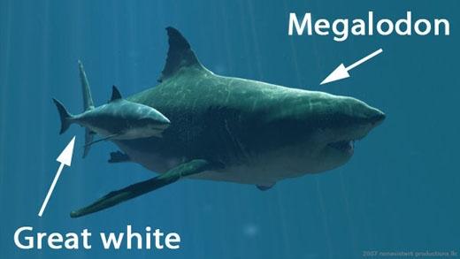 Độ khổng lồ của Cá mậpMegalodon vẫn vượt trội hơn hẳn thế hệ sau.(Ảnh: Internet)