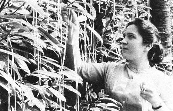 Hình ảnh thu hoạch mì ống mà BBC đăng tải trong ngày Cá tháng Tư. Ảnh: hoaxes.org