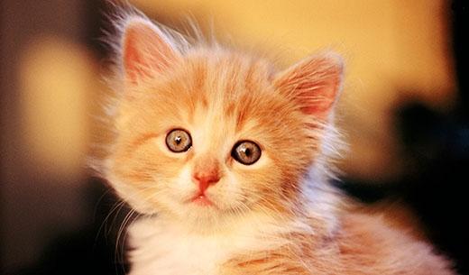 Mèo vàng sẽ mang lại may mắn cho các bạn. (Ảnh: Internet)