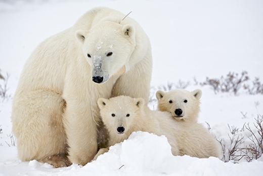 Thực tế là da của gấu Bắc cực có màu đen và lông của chúng không phải màu trắng mà là màu sáng trong. Khi đượcnhìn dưới ánh sáng tím, lớp lông của loài gấu này có màu đen. Tuần lộc là loài nhìn thấy được trong ánh sáng tím và nó có thể nhận dạng được đặc điểm này của gấu trắng Bắc Cực. (Ảnh: Internet)