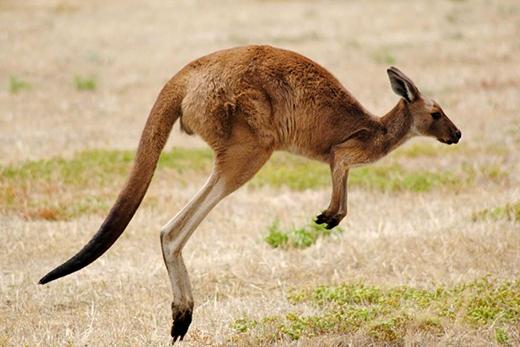 Kangaroo không thể nhảy nếu đuôi của nó không chạm mặt đất. Đơn giản vì đây là bộ phận giữ thăng bằng của chúng. (Ảnh: Internet)