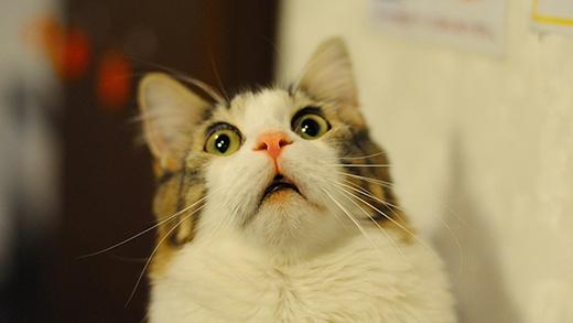 Mèo không thể nếm được những thứ có vị ngọt bởi chúng thiếu gen cảm nhận vị đó. (Ảnh: Internet)