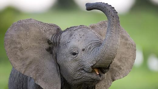 Vòi của một con voi không hề có đoạn xương nào cả mà thay vào đó là 40.000 cơ khác nhau. (Ảnh: Internet)