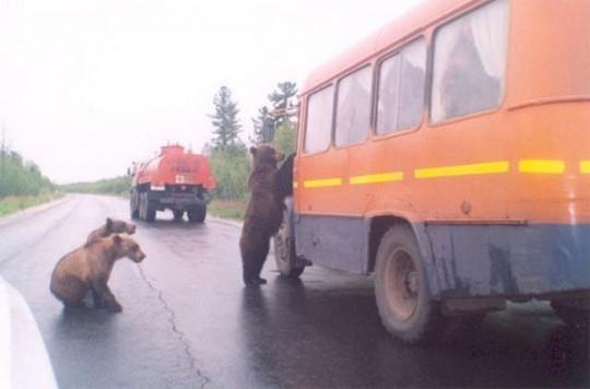 Gia đình gấumuốn bắt xe quá giang đi đâu chăng? (Ảnh: Internet)