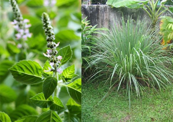 Trồng húng quế và xả trong nhà cũng như xung quanh vườn để đuổi muỗi.