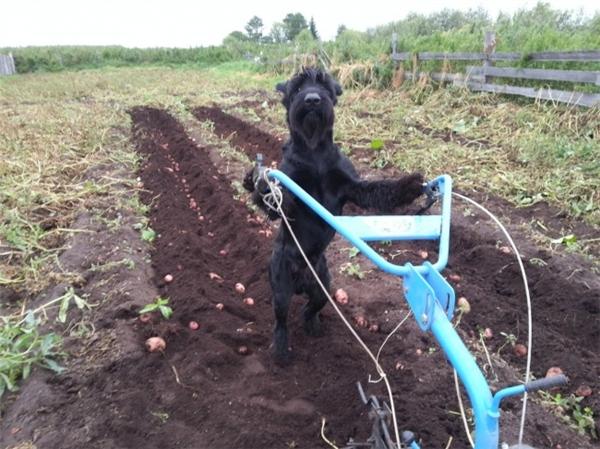 Xới đất trồng khoaiem cũng làm được tuốt nhé.