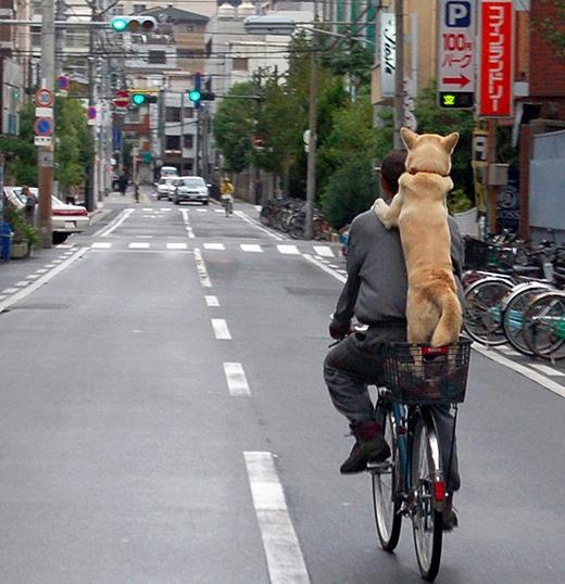 Anh bạn đáng yêu này thì được chủ cho cả chiếc giỏ xe đạp ở phía sau để đứng cho dễ, không sợ ngã. (Ảnh: Internet)