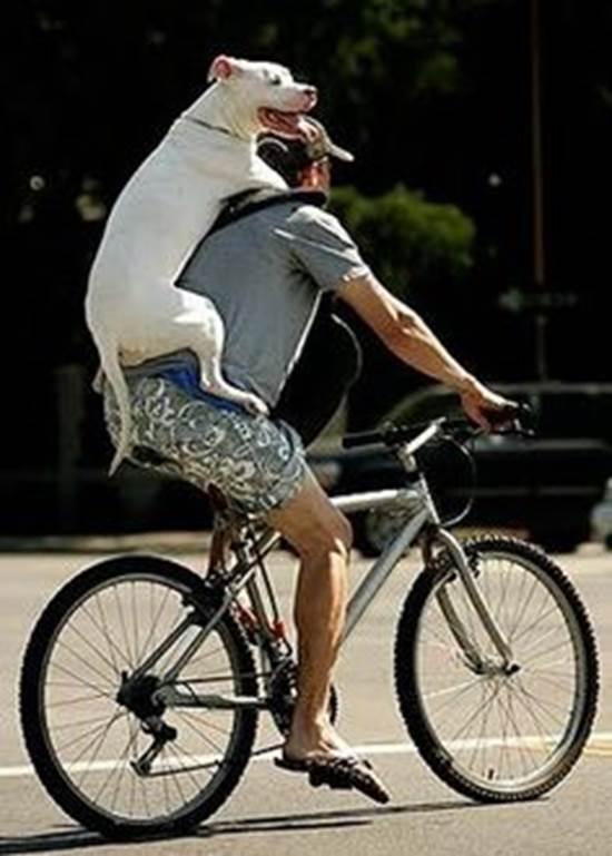 Không chỉ chó nhỏ mà em cún to xác này cũng rất thích thú khi được chủ đèo trên lưng đạp xe đi chơi. (Ảnh: Internet)