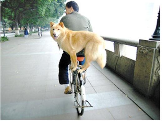 Em cún này khiến nhiều người qua đường phải trầm trồ ngưỡng mộ khi giữ thăng bằng thật siêu trên bánh sau xe đạp. (Ảnh: Internet)