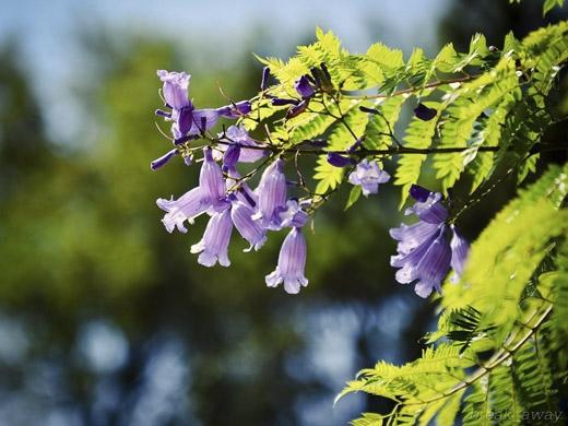 Cận cảnh vẻ đẹp của từng bông hoa tím. (Ảnh: Internet)