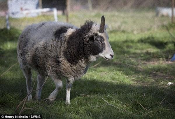 Cô cừu Peanut chỉ có 1 sừng duy nhất
