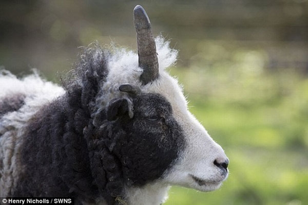 Cận cảnh chiếc sừng độc nhất của cừu Peanut