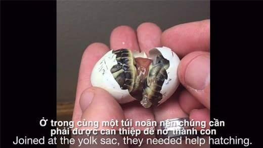 Hồi hộp xem phẫu thuật tách rời rùa song sinh dính liền