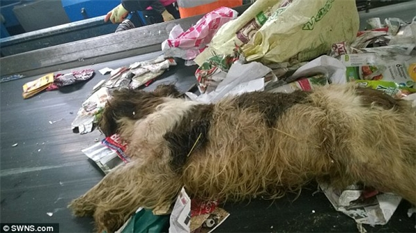 Hình ảnh chú chó giống Alsatian (trên) và Terrier (dưới) được phát hiện nằm lẫn lộn trong đống vỏ chai nhựa, túi nylon, hộp thiếc và giấy báo. (Ảnh: Internet)