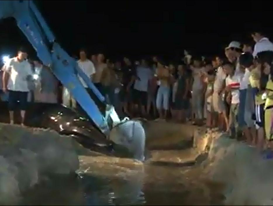 Người dân huy động một chiếc xe đào đất, xúc cát tạo rãnh nước để đưa chú cá voi ra lại biển. (Ảnh: Chụp từ clip)