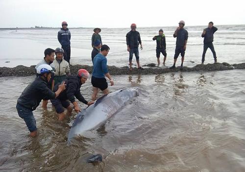 Ngư dân Nam Định giải cứu thành công cá voi nặng 3 tấn. (Ảnh: Bạn đọc cung cấp)