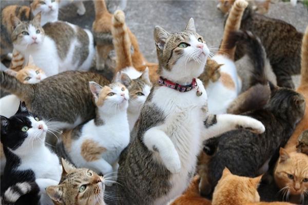 Người dân Nhật rất thân thiện với mèo và thường cho chúng ăn, vì thế mà chúng rất quấn quýt với người. (Ảnh: Internet)