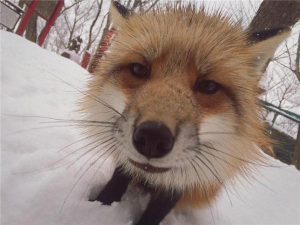 Có những con cáo rất dạn người và tò mò với ống kính máy ảnh. (Ảnh: Tatsuro Shimono)
