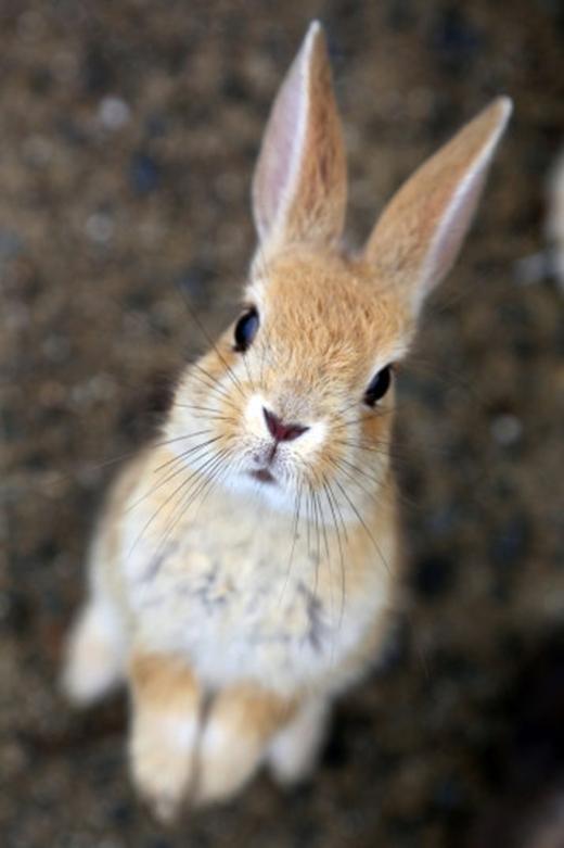 Lũ thỏ rất thân thiện, chủ yếu vì chúng được du khách cho ăn thỏa thích. (Ảnh: Paul Brown)