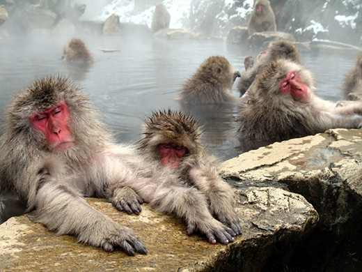 """Những chú khỉ đang lim dim tận hưởng sự ấm áp của suối nước nóng với dáng vẻ không kém phần """"sang chảnh"""". (Ảnh: Internet)"""