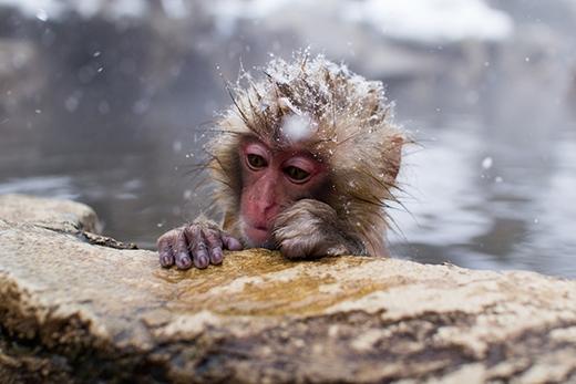 Một chú khỉ con đáng yêu đang ngâm mình trong nước nóng khi trên đầu còn đọng tuyết trắng. (Ảnh: Internet)