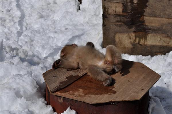 Thế nhưng cũng có những chú khỉ vì mải mê tắm suối nước nóng mà gặp cảnh choáng váng, chóng mặt nên phải lên bờ tạm nghỉ. (Ảnh: Internet)