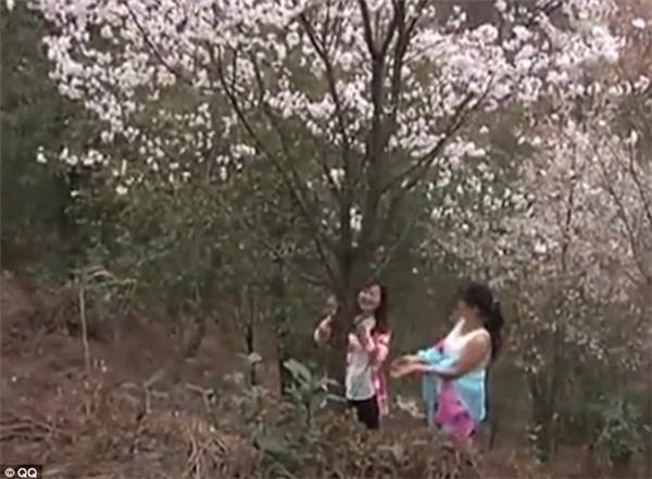 """Tuy nhiên, những cây hoa xinh đẹp này đang bị du khách Trung Quốc """"hành hạ"""" không thương tiếc bằng cách hành động như ôm thânrung lắc...(Ảnh: Daily Mail)"""