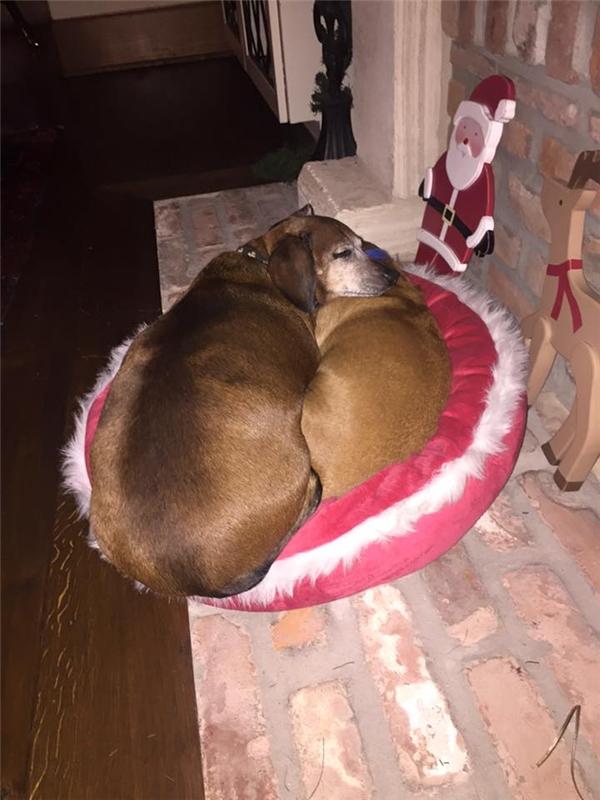 Vincent cùng các bạn chó khác tại nhà Melissa (Ảnh: Internet)