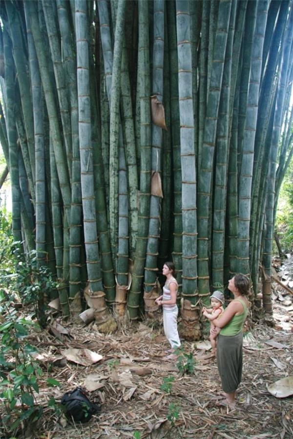 Khóm tre khổng lồ tưởng chỉ có trong truyền thuyết (Ảnh: Thông tấn xã Thái Lan)